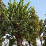 Cây Đào Tiên Biểu Tượng Cho Sự Sung Túc Cho Khuôn Viên Sân Vườn Đẹp